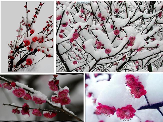 5215,雪梅情(原创) - 春风化雨 - 诗人-春风化雨的博客